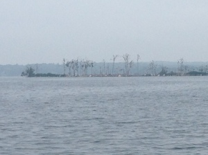 Cormorants destroy the vegetation on islands.  There are hundreds of them in the trees.