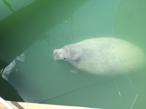 Hello Mr. Manatee!